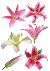 Lily flowers collection on a white background