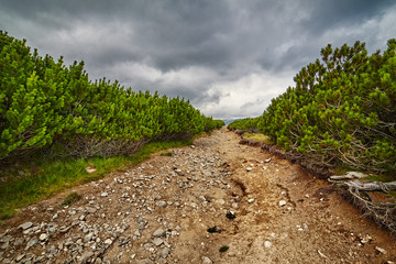 Dirt road through dwarf pines