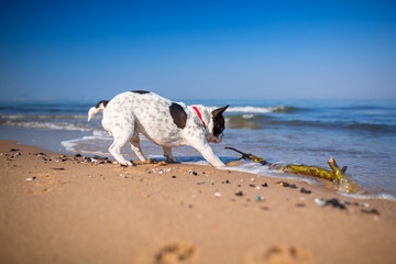 Portrait of french bulldog on the beach