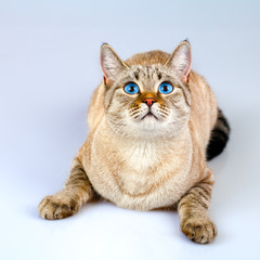 Cat with big blue eyes