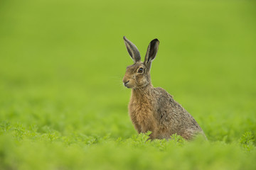 European Brown Hare - Lepus euroaeus