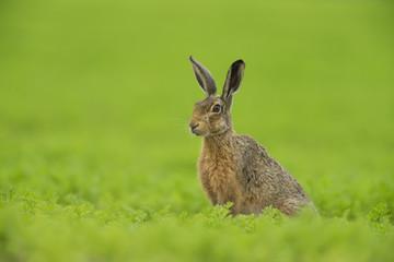 European Brown Hare - Lepus euroaeus