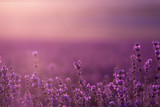 blurred summer background of wild grass and lavender flowers