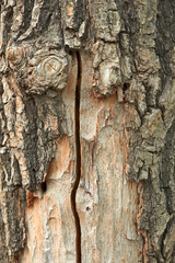 Oak trunk with partly ragged bark