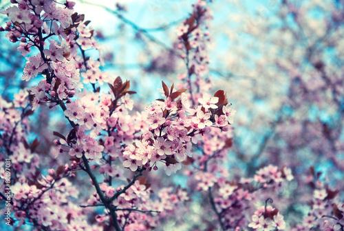 Poster Kersen cherry blossom spring