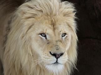White Lion Look (Panterha leo krugeri)