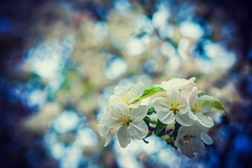 little branch of blossoming cherry tree on blurred  floral backg