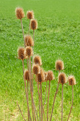 Dried thistle flowers against green field