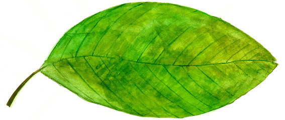 Watercolor green leaf
