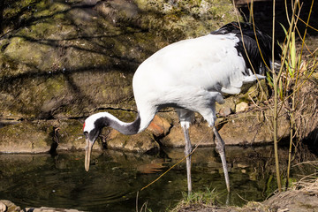 Red-crowned crane, Grus japonensis, looking for food in the pool