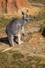 Young female Red kangaroo, Megaleia rufa,