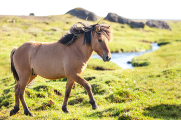 Horse in a green field of Iceland