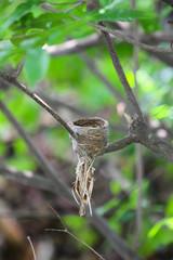 Rhipidura javanica (Pied Fantail) hatched eggs on a branch