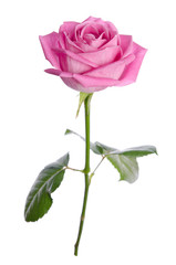 beautiful single pink rose on a white background. vertical posit