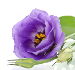 beautiful eustoma flowers with leafs and buds on white backgroun