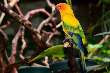 Sun Conure Parrot portrait