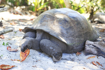Aldabra giant tortoise eats leaves.