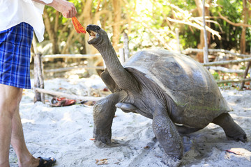 Aldabra giant tortoise reaching for the leaves in hand of