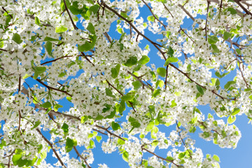 Spring tree with white flowers
