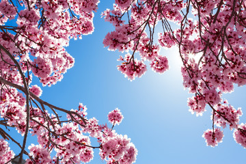 Spring tree with pink flowers © Mariusz Blach