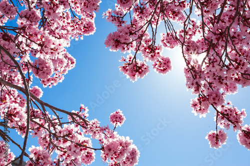 Plexiglas Kersen Spring tree with pink flowers