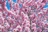 Fototapety Spring tree with pink flowers