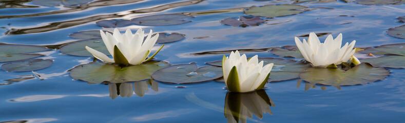 3 weißen Seerosen auf der blauen Wasseroberfläche
