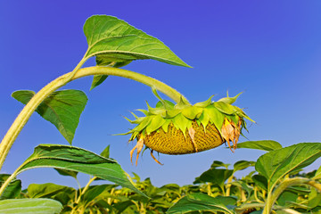 Sunflower head during ripening