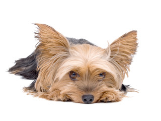 Yorkshire Terrier Dog isolated