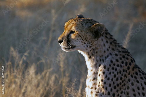 Fotobehang Luipaard Cheetah