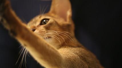Abyssinian kitten. Close up