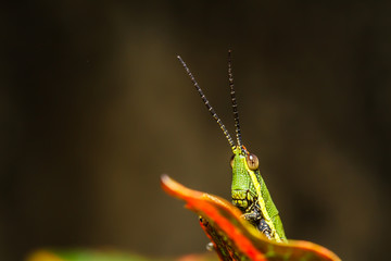 green grasshopper on grass leaf