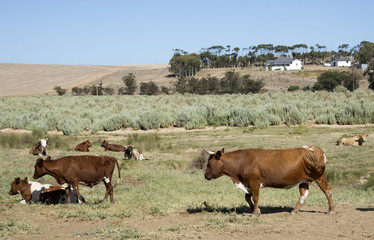 Cattle grazing on Bluegreen Saltbush in the Overberg S Africa