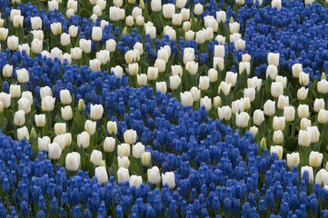 (Muscari latifolium) is a genus of perennial bulbous plants nati