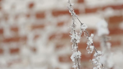 Frosty branches against red brick wall