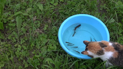 Curious cat catch fish from blue plastic bowl with water