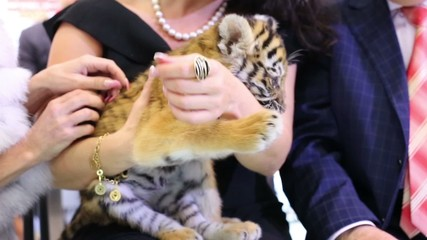 Little tiger cub sits on hands of woman dressed in evening dress