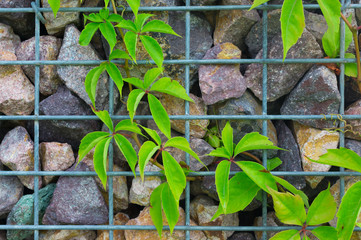 Stone and steel grille wall with green plant climbing