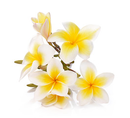 Plumeria and frangipani flowers isolated on white background and
