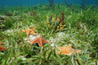 Cushion sea star undersea with colorful sponges