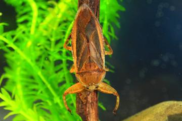 Giant water bug (Lethocerus deyrollei) in Japan