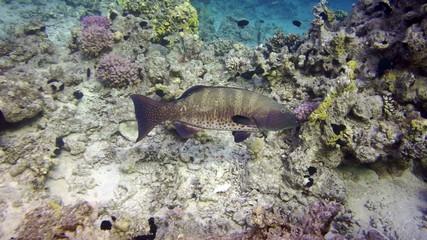 A Malabar grouper (epinephelus malabaricus)