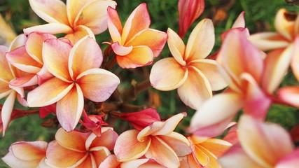pink frangapani  follow focus .