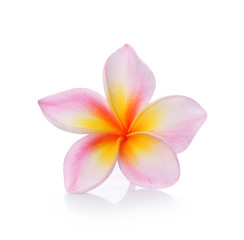 colorful plumeria flower isolated on white backgrond