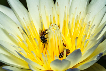 Bee on lotus