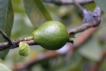 guava or araca