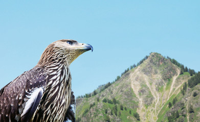 Eagle against the background of a high mountain