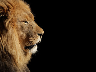 Male African lion on black