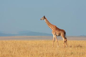 Masai giraffe, Masai Mara National Reserve