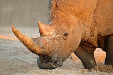 Portrait of a white rhinoceros